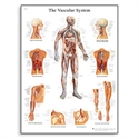 Picture of The Vascular System Chart