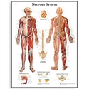 Picture of Nervous System Chart