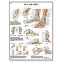 Picture of Foot and Joints of Foot Chart - Anatomy and Pathology