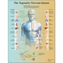 Picture of The Vegetative Nervous System Chart