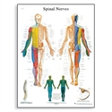 Picture of Spinal Nerves Chart