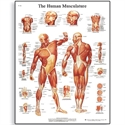 Picture of Human Muscle Chart